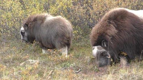 Musk Ox Cow Female Adult Calf Pair Eating Feeding in Autumn in Alaska