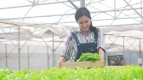 Asia lady farmer harvesting green oak from hydroponics vegetable farm in greenhouse garden.