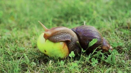 Snail Sitting on Apple