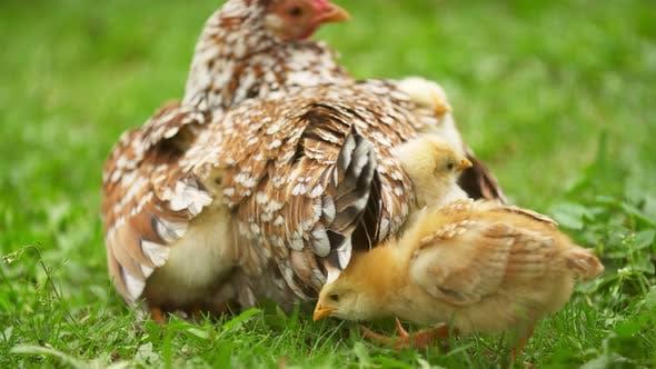Balade au poulet aux poulets