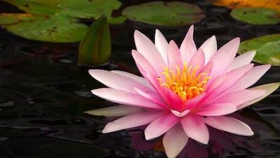 Lotus Flowers On Lake Water