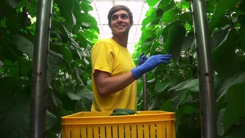 Hydroponic Industry and Greenhouse View of Man Harvesting Organic Vegetables at Agro Company Spbd