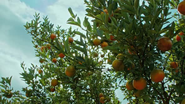 Thumbnail for Ripe Orange Citrus Fruits or Tangerines Hanging on a Tree in the Orange Garden
