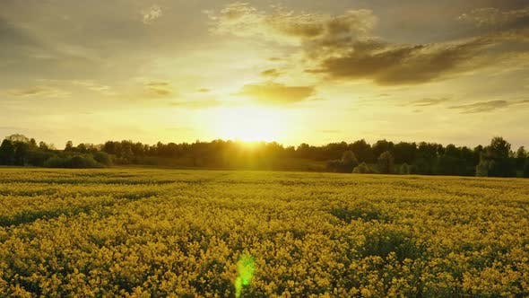 Thumbnail for Flowering Rapeseed Field at Sunset, Timelpase