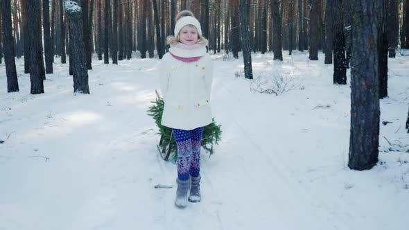 A Child Carries a Christmas Tree in a Sleigh