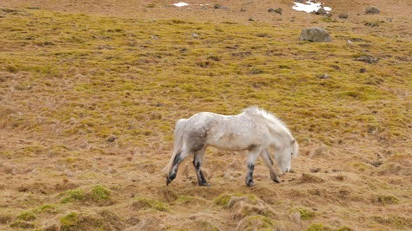 Thumbnail for Icelandic White Horse Walks Across Moss Covered Ground