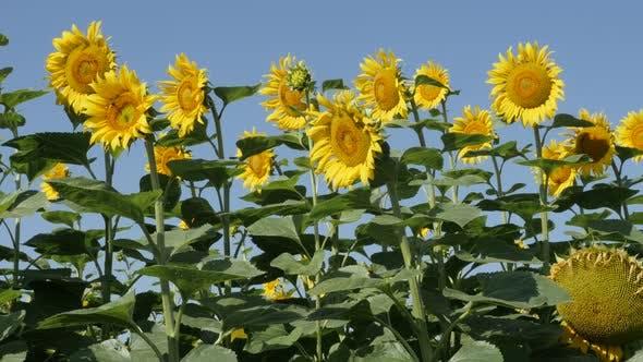 Blue sky above sunflower Helianthus annuus plant field 4K footage