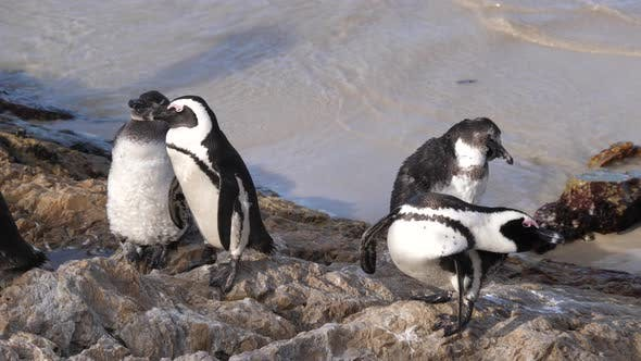 Thumbnail for Penguins preening their feathers and resting on the rocks