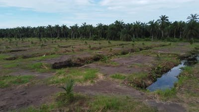 Aerial view young oil palm tree is grow