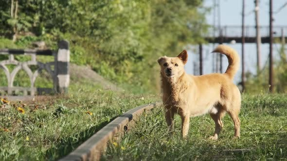 Homeless Redhaired Dog Barks on the Railway Tracks