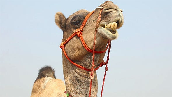 Cover Image for Camel