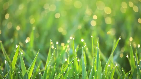 Thumbnail for The Grass and the Dew in the Morning Sun