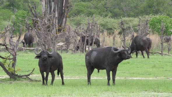 Thumbnail for Herd of African buffalos in Moremi Game Reserve