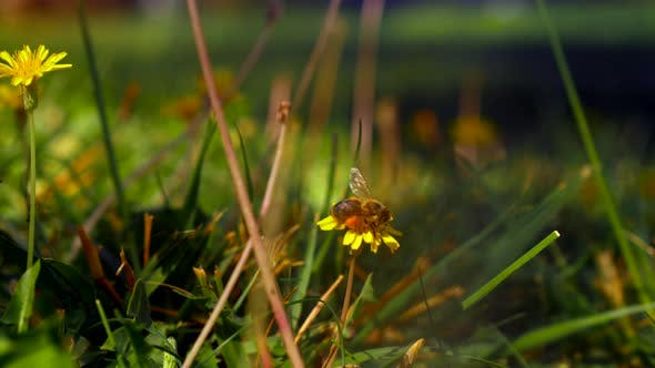 Bee gathering pollen on yellow dandelions