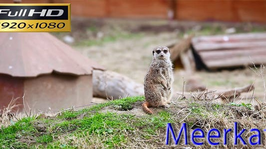 Thumbnail for Meerkat