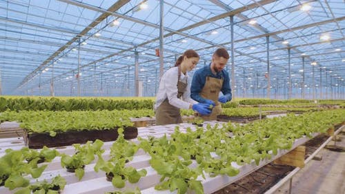 Plant Breeders Working in Hothouse