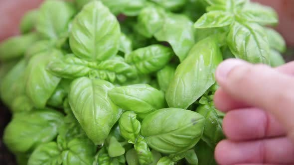 Hand is Touching the Basil