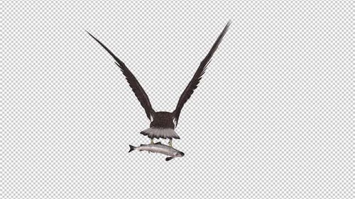 Eurasian White Tail Eagle With Fish - Flying Loop - Back View