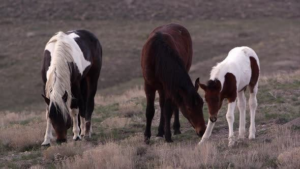 Thumbnail for View of three wild horses grazing.