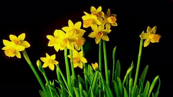 Thumbnail for Yellow Daffodils Bloom