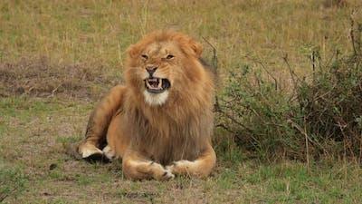 Maasai lion yawning