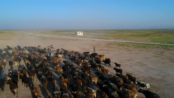 Thumbnail for Photographer With Herd Of Cows On Pasture