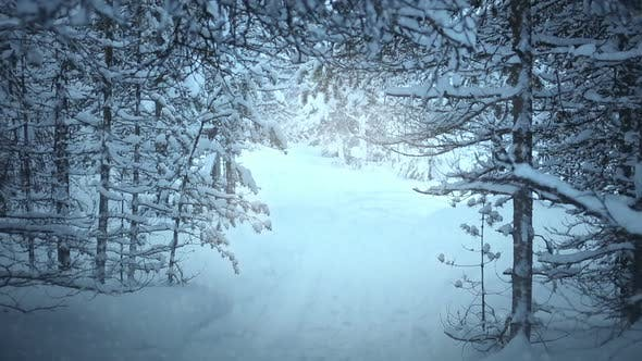 Cover Image for Snowfall in the Spruce Forest