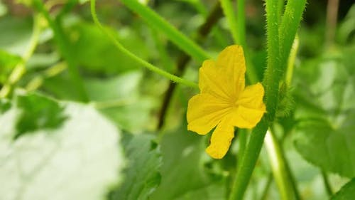 Yellow Female Flower of Cucumber in Field Plant