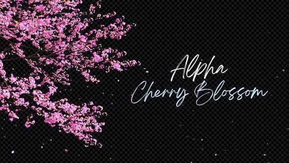 Cherry Blossom 02 Alpha 4K