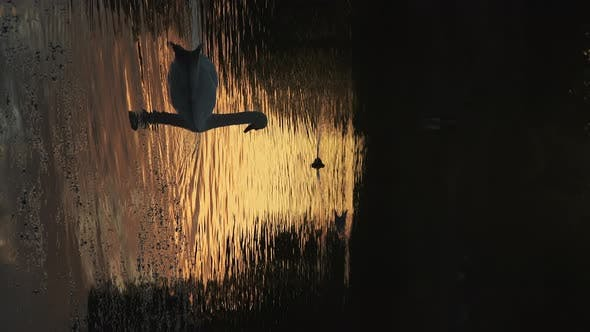 Vertical wildlife animal video of Swans silhouetted on a lake swimming on the orange water from the