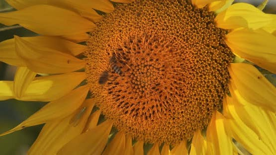 Blooming Sunflowers. Sunflower Field With Blue Sky. Sunflower Oil Agriculture. Bee On A Flower.