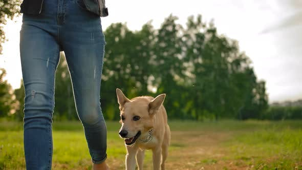 Thumbnail for An Obedient Dog Without a Leash Walking Along a Path in a Park Next To a Woman in the Park.