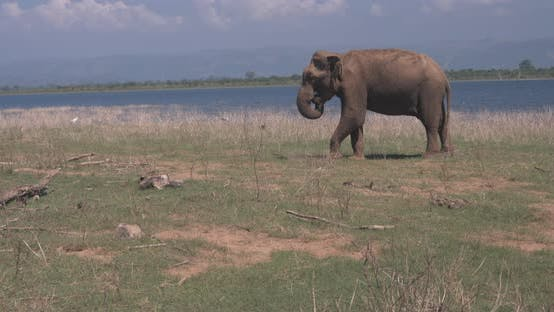 Thumbnail for Close Up of an Elephant Eating in a Wild Nature