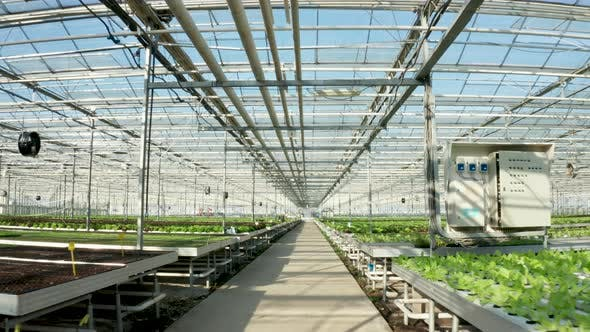 Thumbnail for Aerial Footage Above Growing Green Lettuce in the Greenhouse