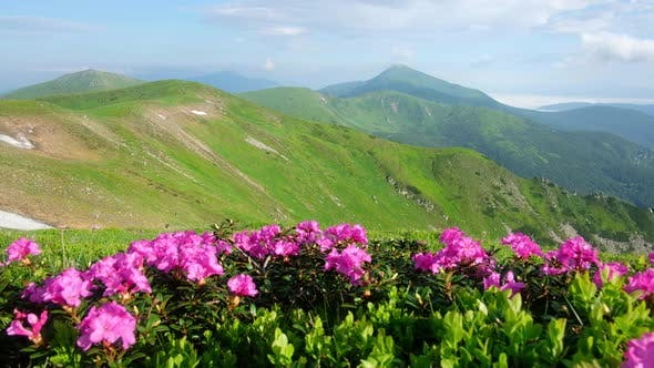 Cover Image for Pink Rhododendron Flowers in Mountains
