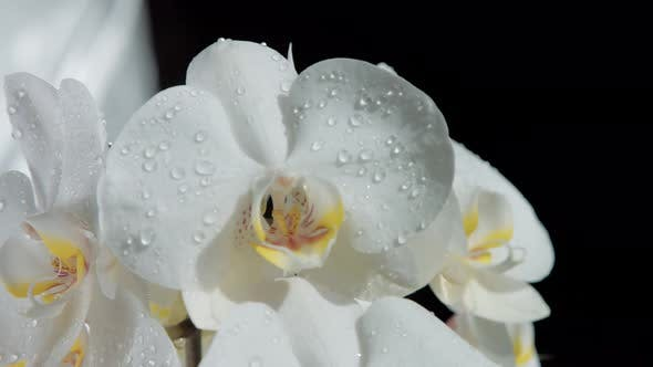 Blossom Orchids, Covered By Water Drops