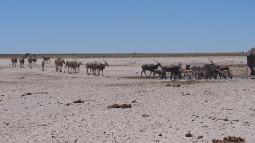 Herd of Common elands around a waterhole