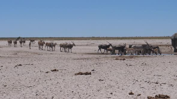 Herd of Common elands around a waterhole