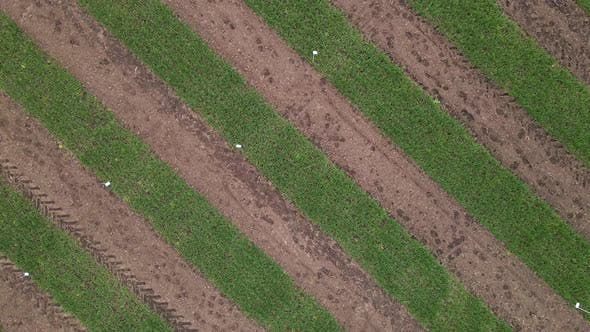Aerial View of Striped Field with Early Wheat Rye Millet or Corn