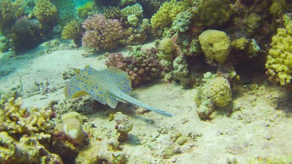 Thumbnail for Blue Spotted Stingray on Coral Reef