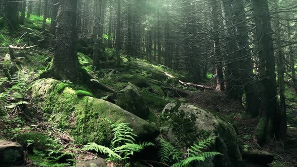 Wild Mountain Forest with Mossy Stones and Fern Plants. Sun Rays Falling on Old Centenary Trees.