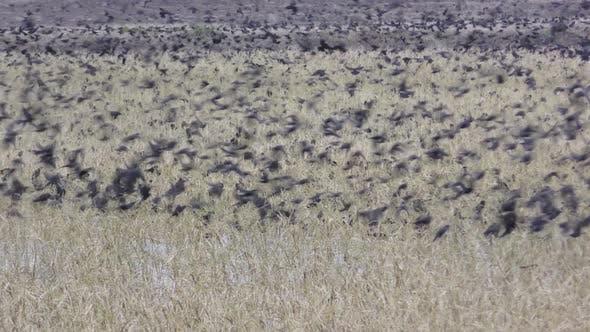 Blackbird Flock Blackbirds Flying Swarming Nuisance Pest Grain Rice Waste Crop