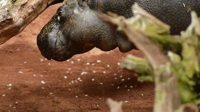 Hippopotamus in a Natural Park