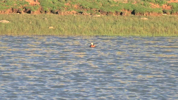 Thumbnail for A Single Wild Shelduck Swimming in Morning Lake