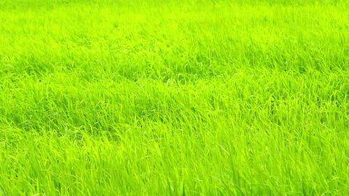 Rice field with wind blow