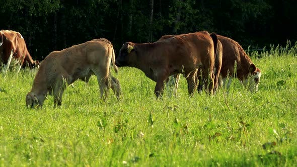 Thumbnail for A Herd of Cows Grazes in a Pasture on a Sunny Day, a Forest in the Background
