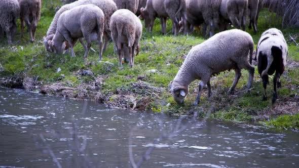 Thumbnail for The Mammal Animal Sheep Near The River 10