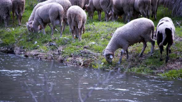 The Mammal Animal Sheep Near The River 10