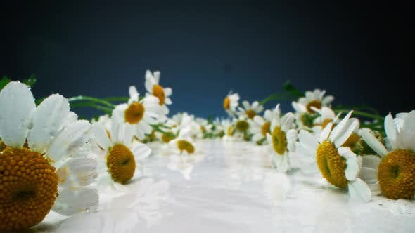 Marguerites humides sur la surface blanche