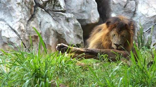 male lion resting in a grass field